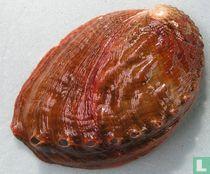 Haliotis discus