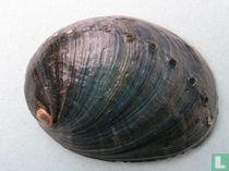Haliotis cracherodii