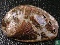 Haliotis marmorata