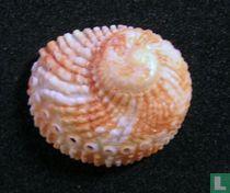 Haliotis pulcherrima