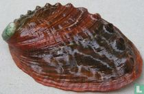 Haliotis kamtschatkana