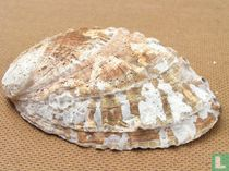 Haliotis mariae dentata