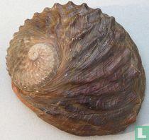 Haliotis rubra conicopora