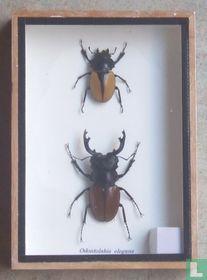 Insekten paar in een houten box.