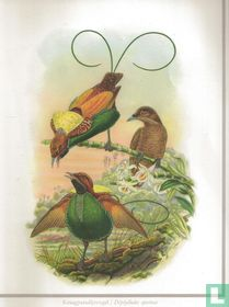 Kraagparadijsvogel / Diphyllodes speciosa
