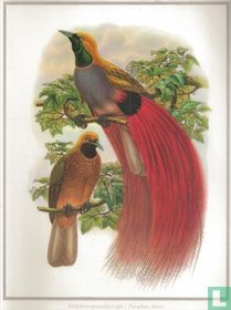 Grijsborstparadijsvogel / Paradisea decora