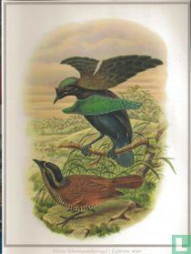 Kleine Schermparadijsvogel / Lophorina minor