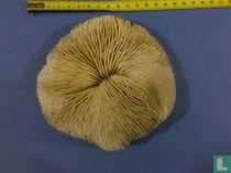 Corail champignon
