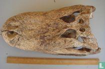 Blanke Schedel Alligator mississppiensis