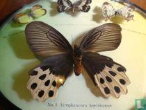 Vlinders Azië
