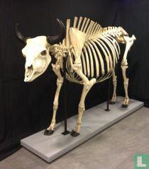 Amerikaanse bizon Stier skelet