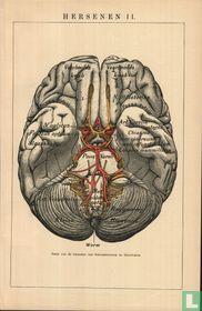 hersenen brain
