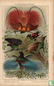 Paradijsvogels paradiesvögel