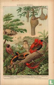 Webervögel weefvogels