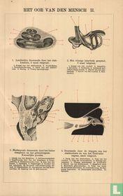 oor van mens/mensch