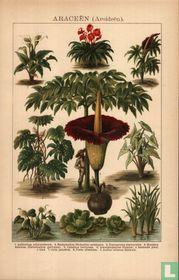 araceën  kelkplanten