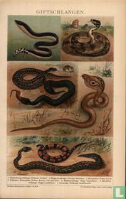Giftschlangen gifslangen