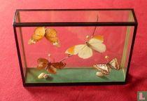 Vlinders In Glazen Vitrine