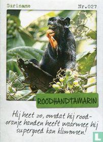 Suriname - Roodhandtamarin