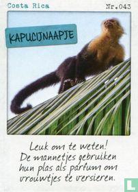 Costa Rica - Kapucijnaapje