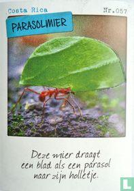 Costa Rica - Parasolmier