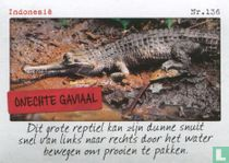 Indonesië - Onechte gaviaal