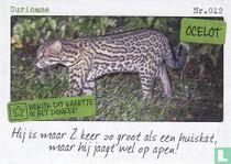 Suriname - Ocelot