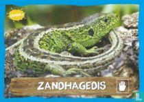 Zandhagedis
