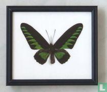 Brookiana vlinder