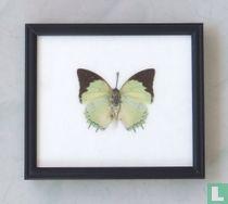 Great Nawab vlinder in een zwarte houten lijst van 20 cm bij 17 cm.