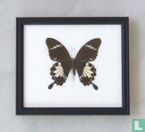 Black and White Helen vlinder in een zwarte houten lijst van 20 cm bij 17 cm.