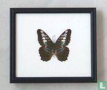 Clipper vlinder in een zwarte houten lijst van 20 cm bij 17 cm.