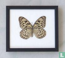 Idea Jasonia vlinder in een zwarte houten lijst van 20 cm bij 17 cm.