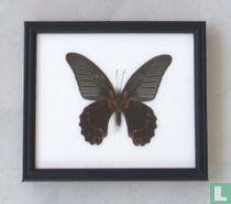 Great Mormon vlinder in een zwarte houten lijst van 20 cm bij 17 cm.