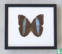 Achilles Blue Morpho vlinder in een zwarte houten lijst van 22,5 cm bij 20 cm.