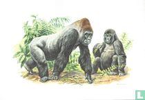Zoogdieren - Gorilla