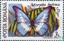 Morpho helena