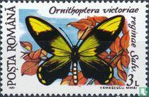 Ornithoptera victoriae