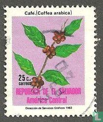 Koffie Plant