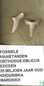 Haaientanden - Orthodus Oblicus - Eoceen
