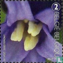 Helmknoppen van de wilde hyacint