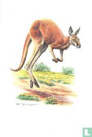 Zoogdieren - Rode reuzenkangoeroe