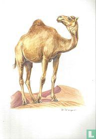 Zoogdieren - Dromedaris