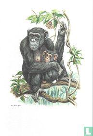 Zoogdieren - Chimpansee
