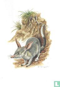 Zoogdieren - Grote langoorbuideldas