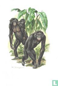 Zoogdieren - Bonobo