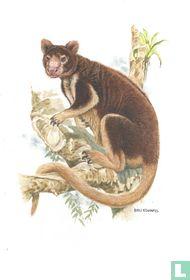 Zoogdieren - Matschie-boomkangoeroe