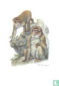 Zoogdieren - Magot