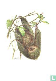Zoogdieren - Tweevingerige luiaard