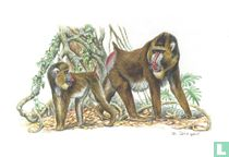Zoogdieren - Mandril